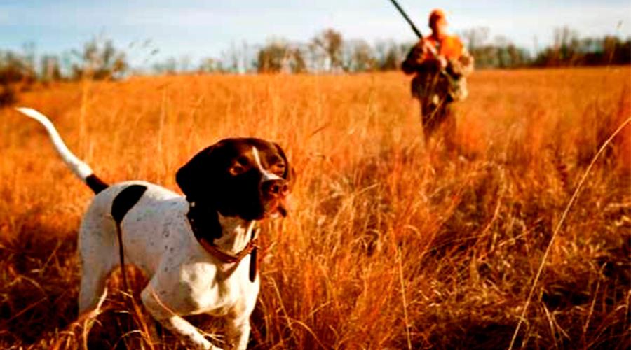 Adiestramiento de perros con caza de granja | Ventajas e inconvenientes de la caza de granja | Trucos para adiestrar perros de muestra con caza de granja | Como iniciar un perro con caza de granja | Ventajas de adiestrar un perro con caza de granja | Inconvenientes de adiestrar un perro con codornices de granja | Adiestramiento de perros con caza de granja | Adiestramiento de perros con codornices de granja | Blog de caza menor | Cuaderno de Caza