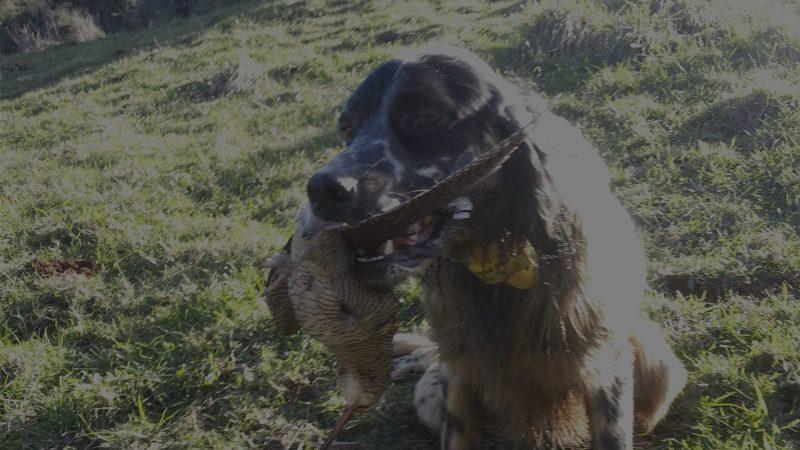 Cualidades del perro de becadas | Qué cualidades debe tener un perro para la caza de becadas | Blog de caza menor | Cuaderno de Caza