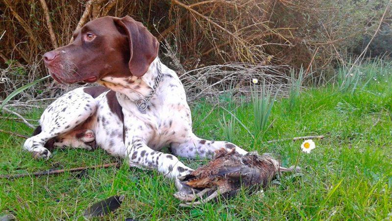 Cualidades del perro de becadas