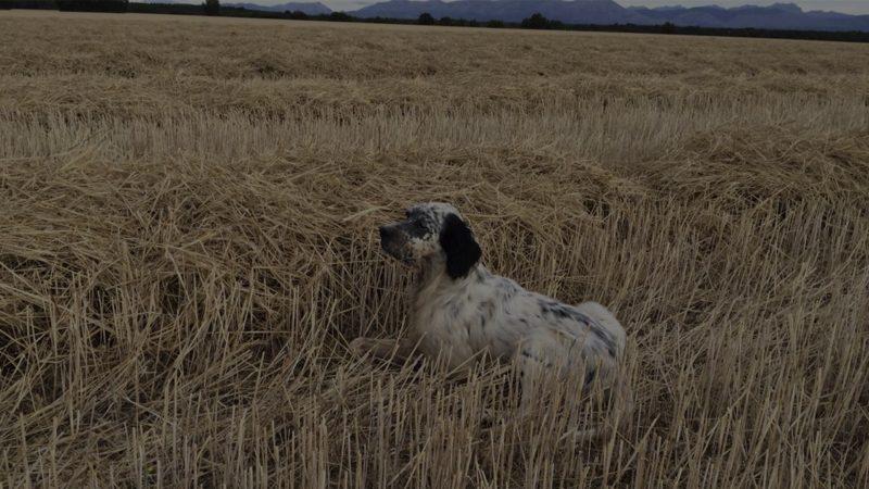 Setter inglés de becadas | Perros de muestra caza de becadas | Cuaderno de Caza
