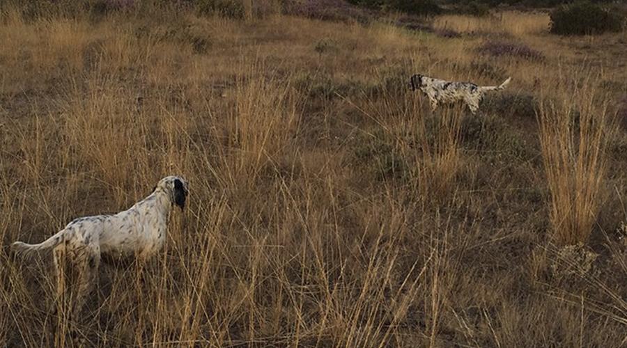 Setter inglés de becadas   Perros de muestra caza de becadas   Cuaderno de Caza