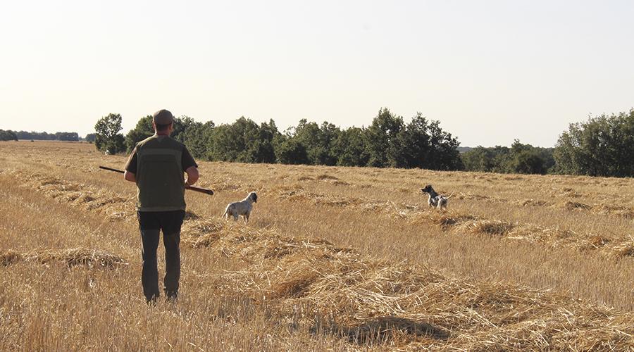 Cazando codornices en la Media Veda   Caza de codorniz en Palencia   Caza de codorniz en Castilla León   Cazando codornices en Septiembre   Blog de Caza menor   Cuaderno de Caza
