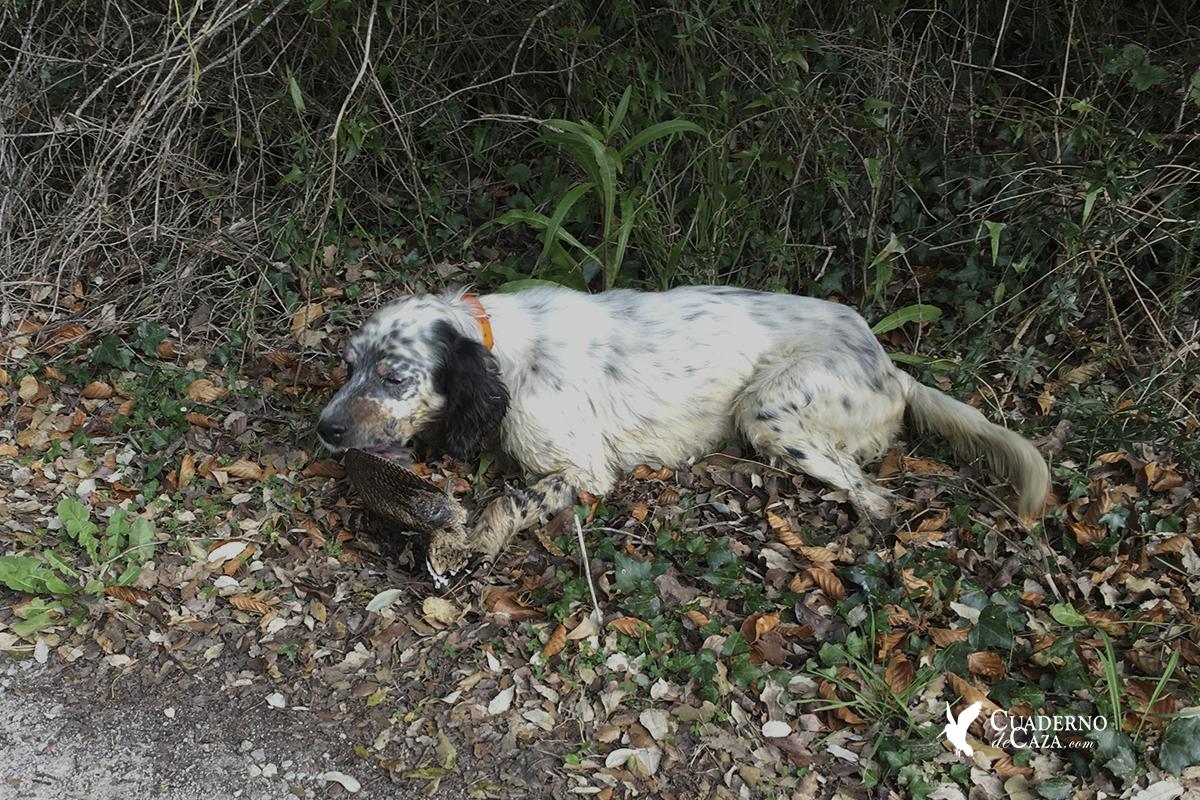 Fotos cazando la becada en Cantabria | Cuaderno de Caza