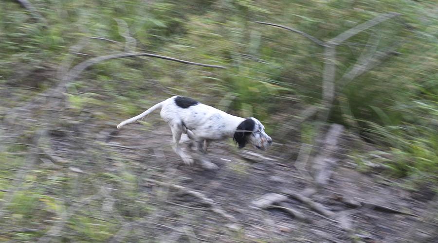 Prohibiciones contra el perro de caza | Prohibición perros de caza sueltos en el campo | Cuaderno de Caza