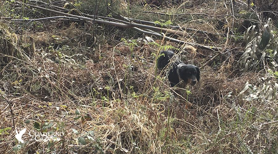 Campeo con Setter Inglés   Campeo perros de caza   Cuaderno de Caza