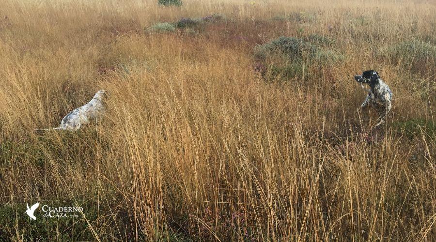 Consejos para cazar la codorniz | Claves Media Veda | Cuaderno de Caza