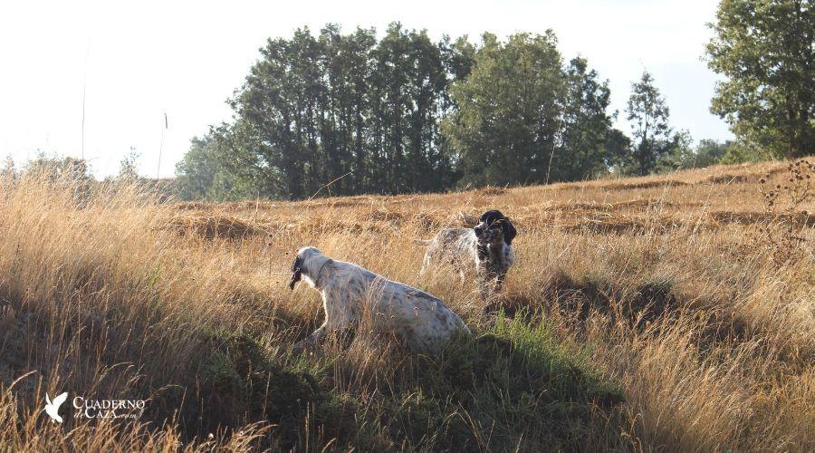 Entrenamiento del perro de caza para la codorniz | Cuaderno de Caza