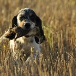 Cazar con cachorros en la codorniz | Cuaderno de Caza