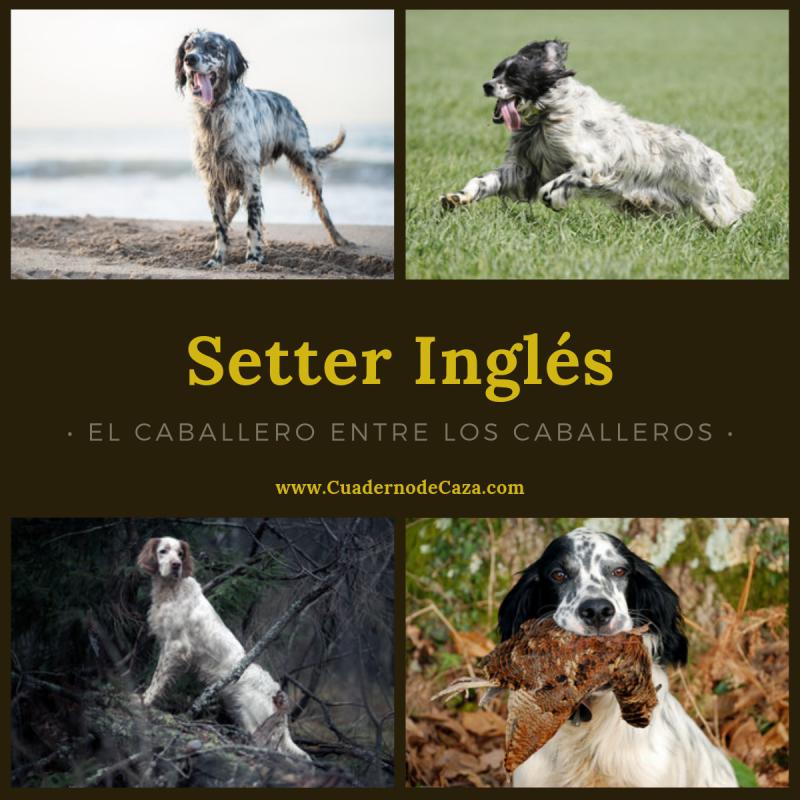 El Caballero entre los caballeros | Setter Inglés | Cuaderno de Caza