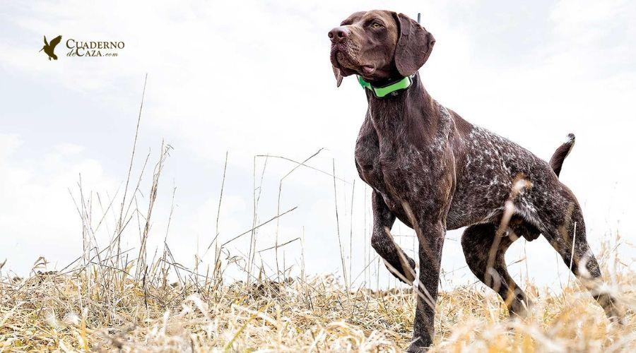 Mejores razas para la codorniz   Cualidades del perro de codorniz   Cuaderno de Caza