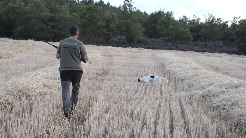 Cachorros cazando codornices | Lances caza Media Veda 2019 | Cuaderno de Caza