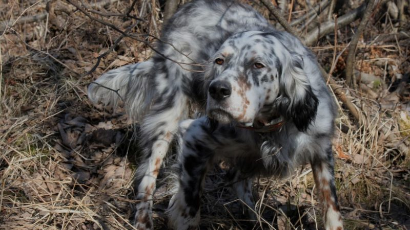 Muestra del perro de caza1.jpg Muestra del perro de caza.jpg Muestra del perro de caza | Twitter.png Muestra del perro de caza | Facebook.png Muestra del perro de caza | Portada.jpg