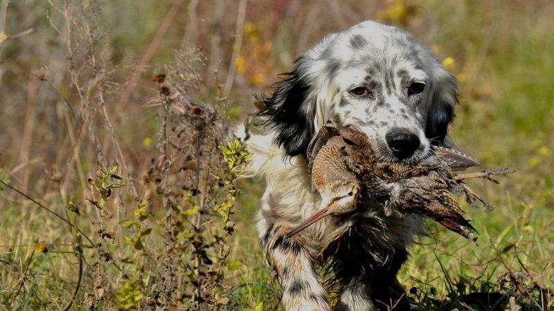 Entrenar el cobro con perros de caza| Adiestramiento perros de caza | Cuaderno de Caza