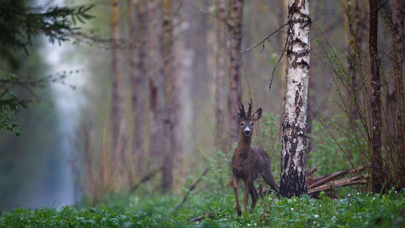 Primera experiencia en la caza del corzo | Cuaderno de Caza