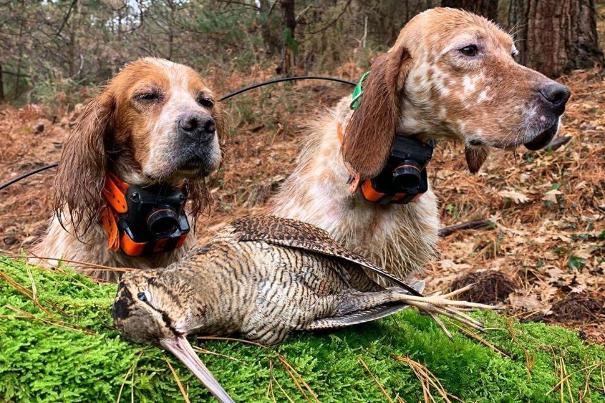 Setters y becadas | Fotos caza de becadas | Cuaderno de Caza