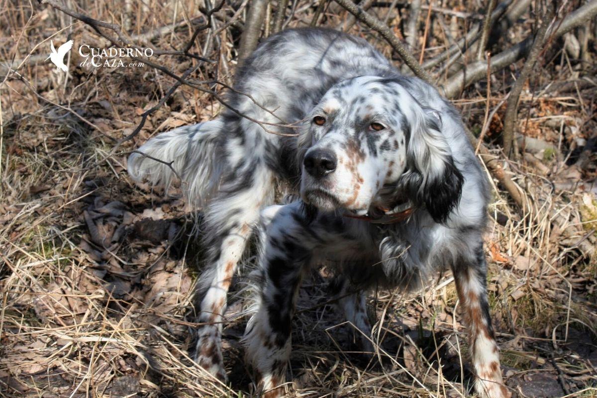 El mejor perro de caza | Cuaderno de Caza