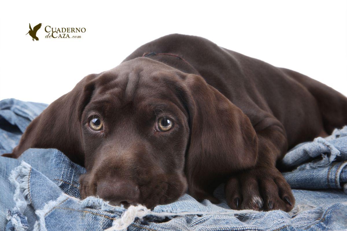 Cómo elegir nombre para un perro de caza | Cuaderno de Caza