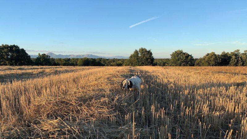 La codorniz El Hada del Campo | Cuaderno de Caza