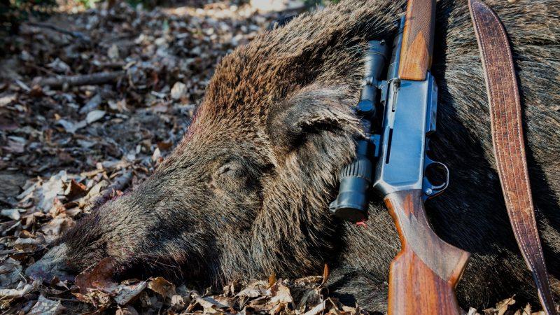 Consejos para cazar el jabalí en batida y montería | Cuaderno de Caza