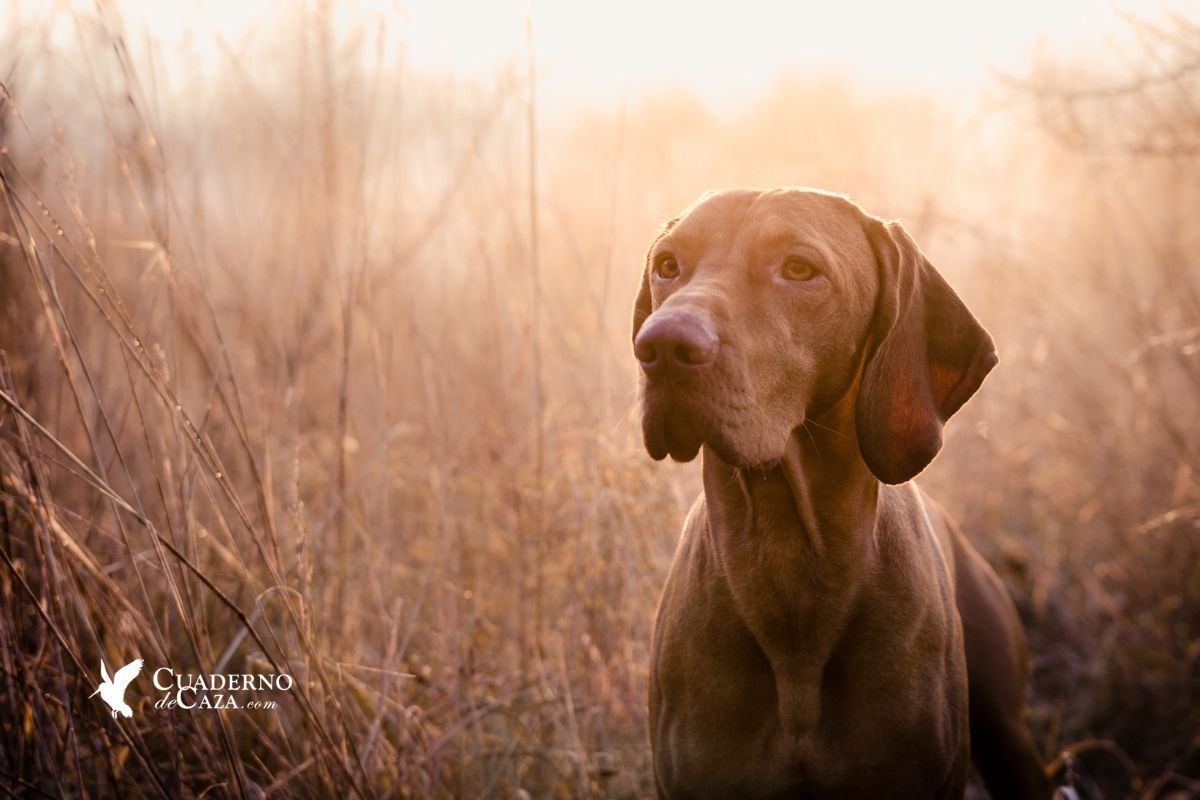Cazar con perro de muestra | Cuaderno de Caza